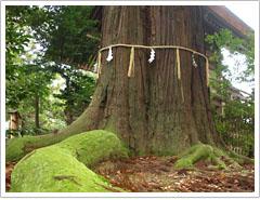 樹齢約1200年の大杉