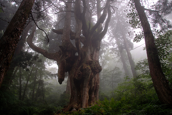 隠岐の船旅 隠岐の島町 岩倉の乳房杉