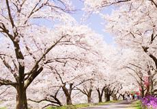 島根の桜名所&お花見スポット