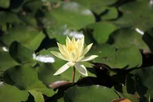 Water Lily (July, August)