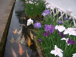 Koi carps and Iris (June)