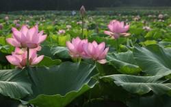 Kojindani Lotus