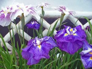 Iris in Tonomachi