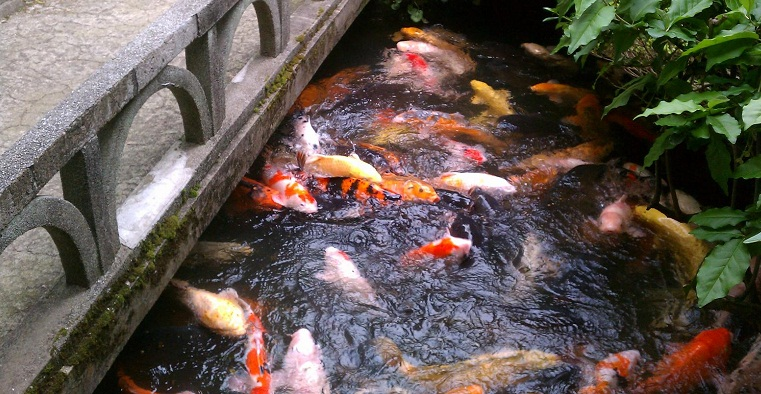 Koi carps in the rice shop