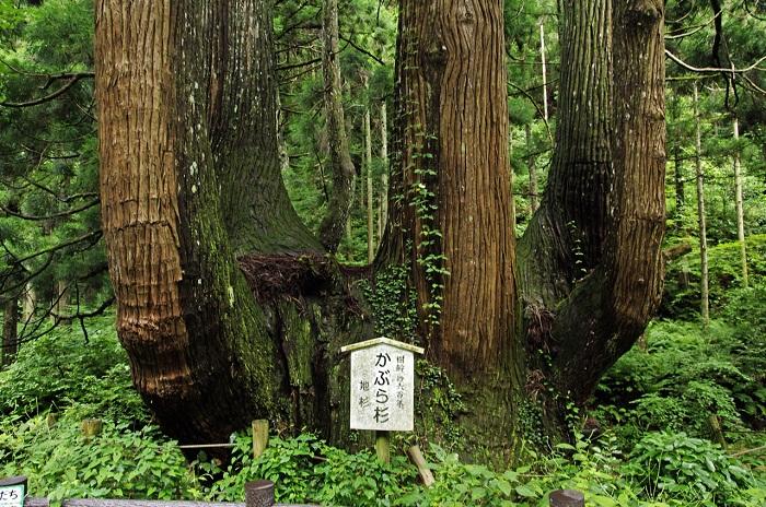 Yao-sugi Japanese cedar at Tamawakasu-no-mikoto Shrine