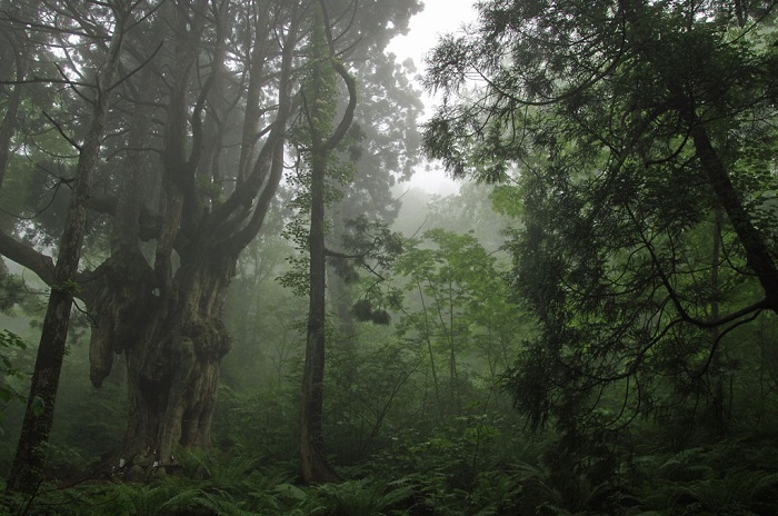 Chichi-sugi Japanese cedar in the Sizen-kaiki-no-mori Forest [ Okinoshima Island]