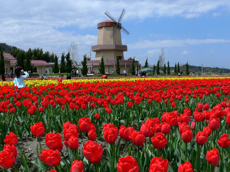 Tulips in Hakuta