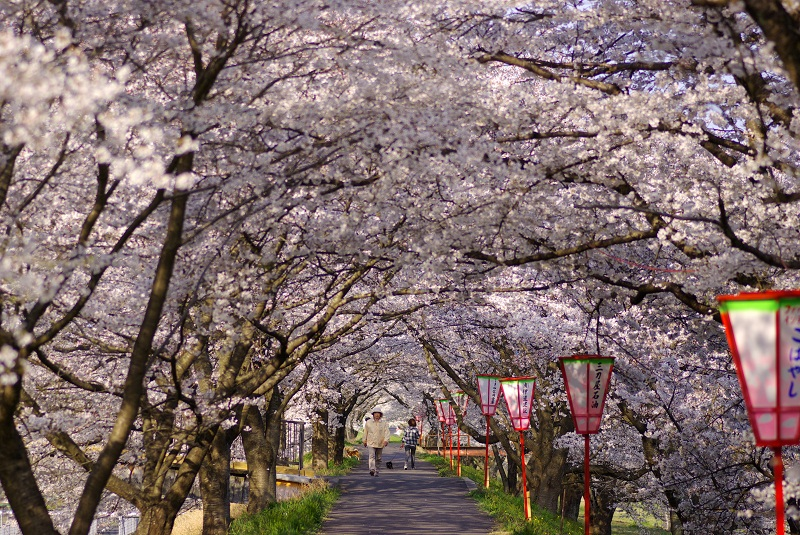 Cherry Trees in Mitoya