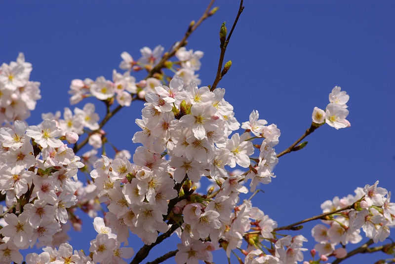 cherry blossoms in kisuki