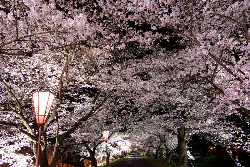 cherry blossoms unnan