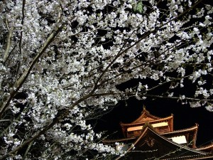Matsue CastleCherry Blossoms