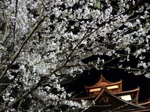 Matsue CastleCherry Blossoms