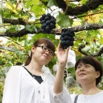 The summer blessing, enjoy fresh grapes in Shimane