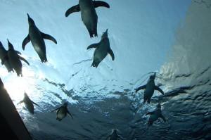 flying penguins aquas