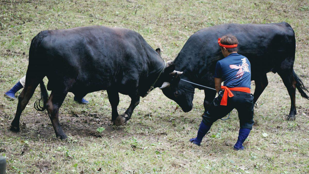 bull_sumo