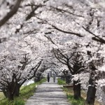 Walking through the tender pink tunnel of cherry blossoms