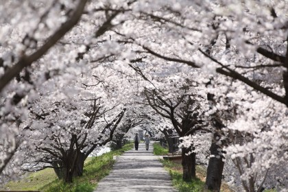 cherry blossoms in unnan