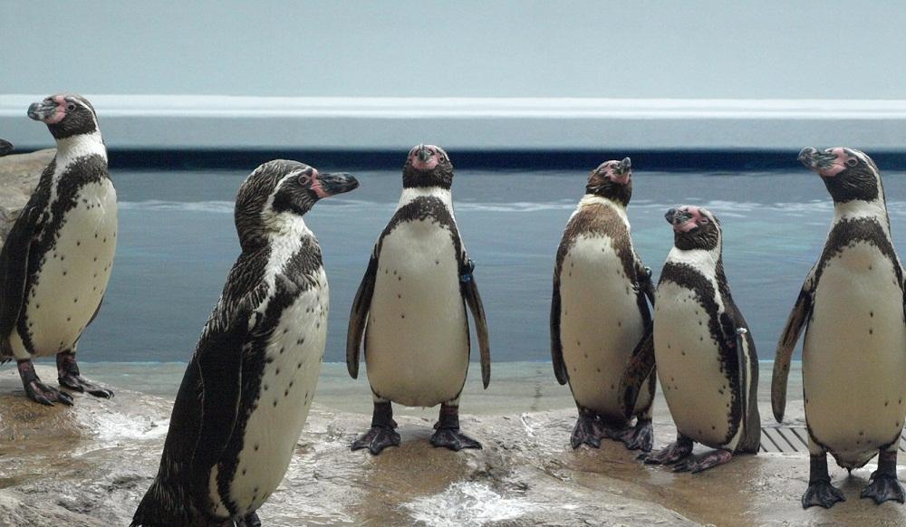 aquas penguins