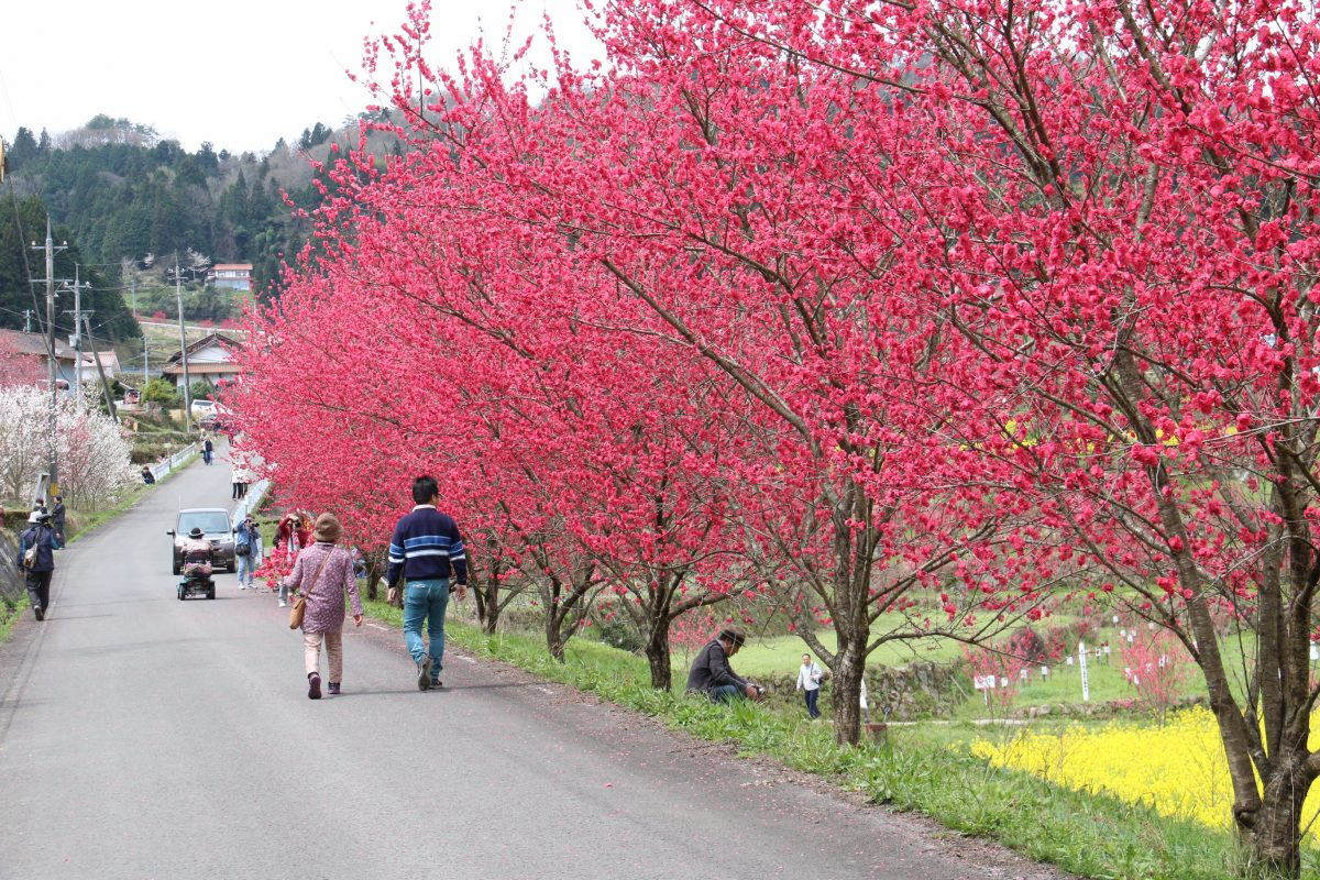 peach_blossom_in_onnan