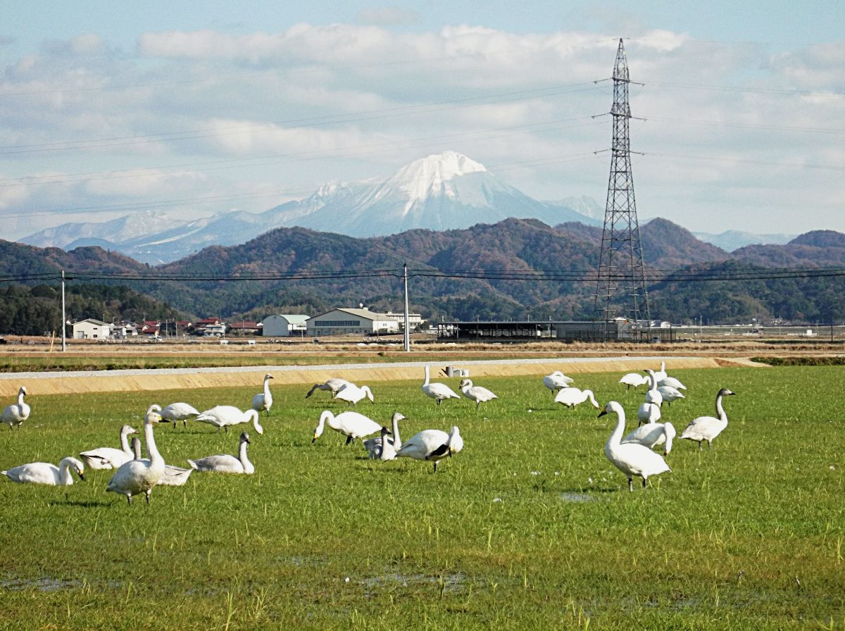 wintering swans with Mt. Daisen in the background in Yasugi City