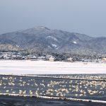 [Bird watching spot] 1,000 Swans Wintering in Yasugi City