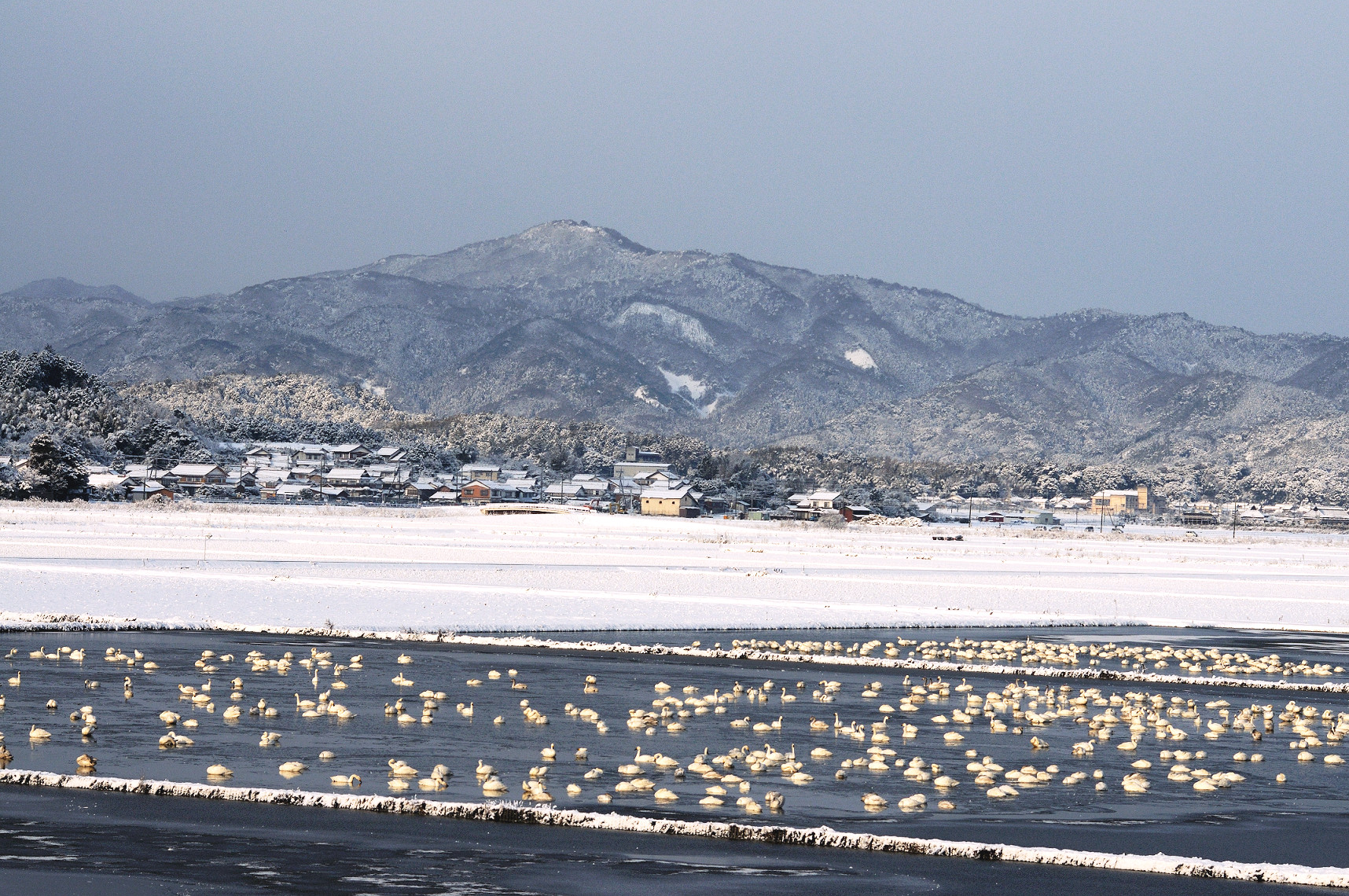 wintering swans in Yasugi City