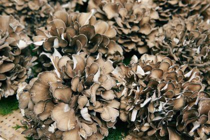 maitake-mushrooms
