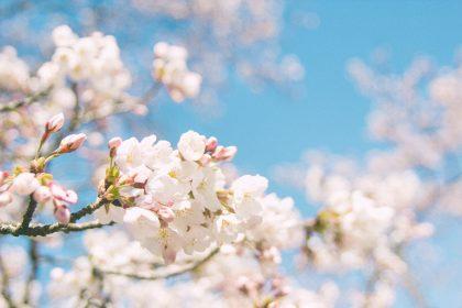 Sakura from Kisuki