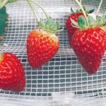 2020 Strawberry Picking