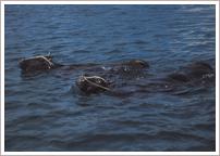 牛の海泳ぎ