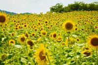 野山嶽のひまわり畑(浜田市)