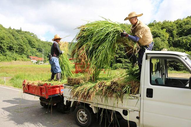 赤穂餅の稲藁を収穫