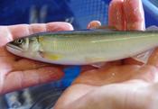 今が旬の鮎を味わう!島根の清流「高津川」を巡る食旅