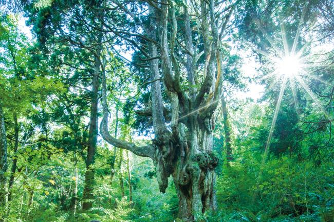 隠岐の島町 岩倉の乳房杉