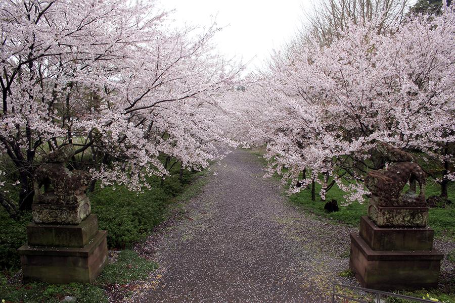 隠岐神社桜