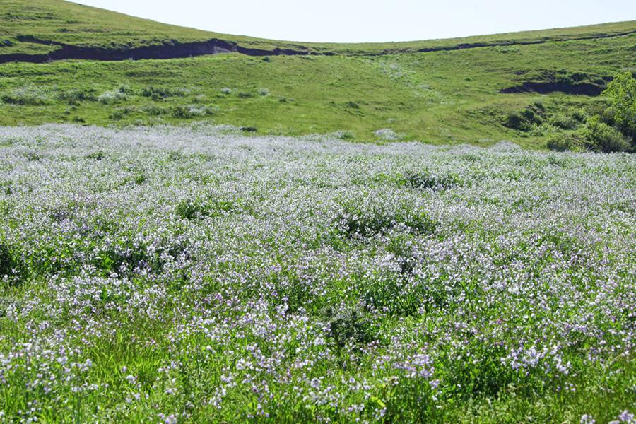 野ダイコンの花