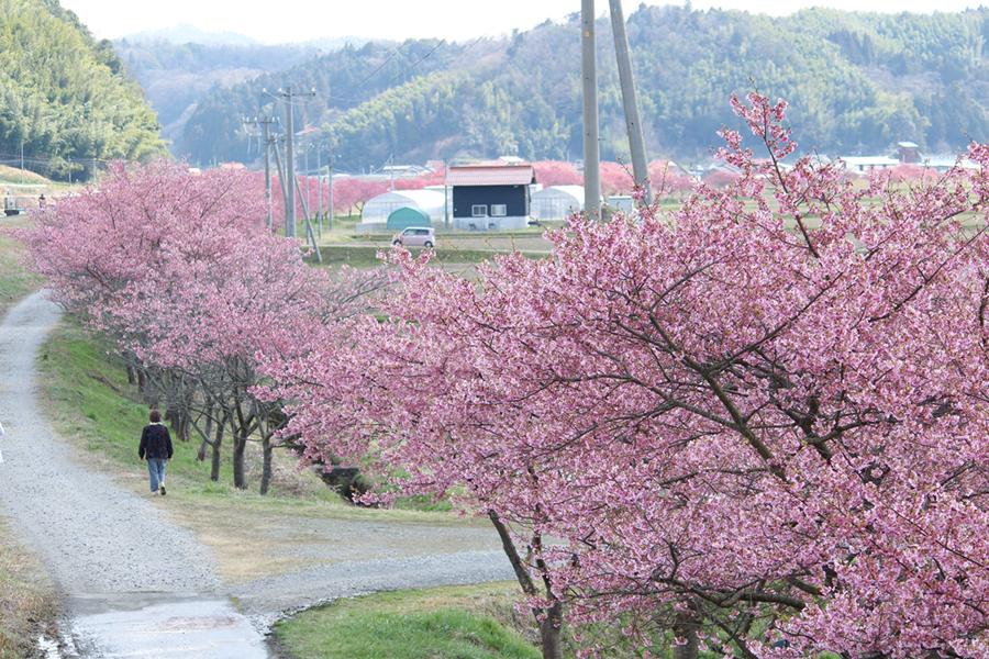 赤川沿い河津桜