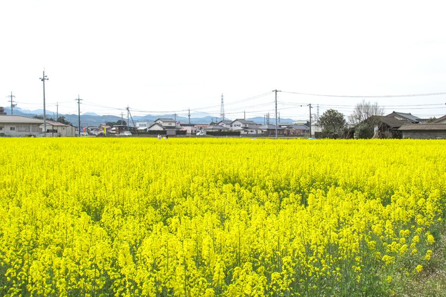 斐川菜の花畑