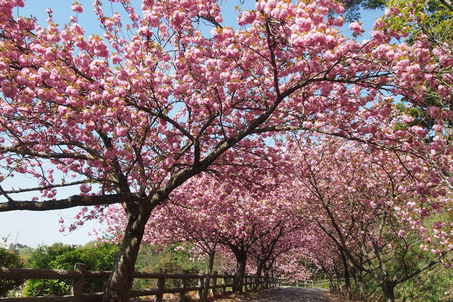 斐川公園 八重桜