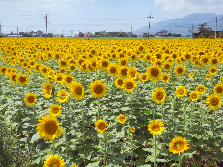 沖州のひまわり畑