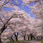 木次櫻花季